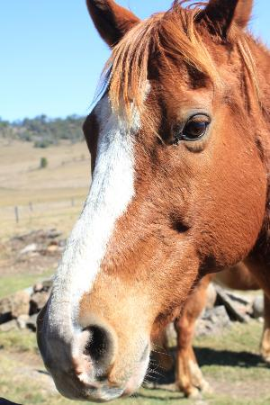 Clandulla Cottages, Beaudesert: Gorgeous horses