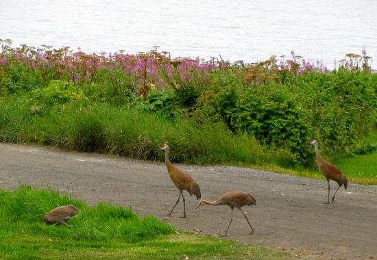 Driftwood Inn & Homer Seaside Lodges: Sandhill crane family walking by