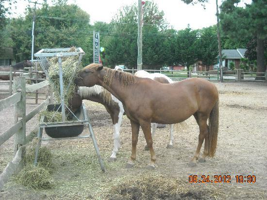 Refuge Inn: Ponies to visit & feed in various places
