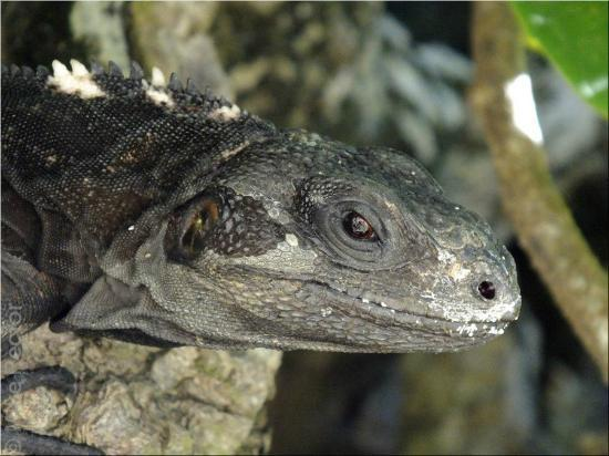 Reef House Resort: Black Iguana on the west end of the island