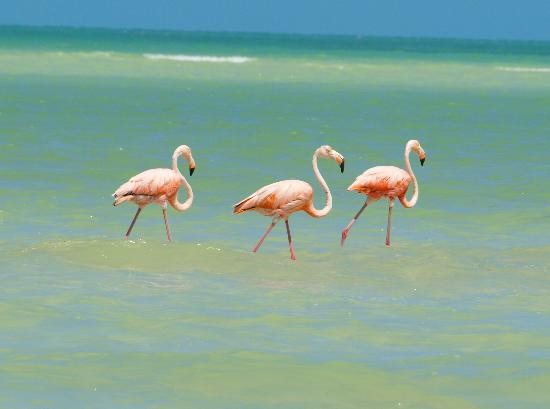 Xaloc Resort: Flamingos on the beach - five minutes from the hotel