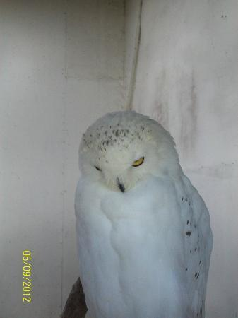 Newent, UK: snowy owl