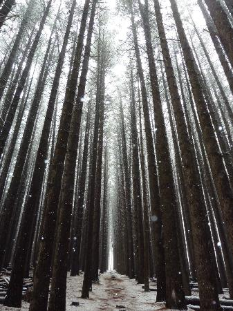 Beaufort House: Snowfall in the sugar pine forrest