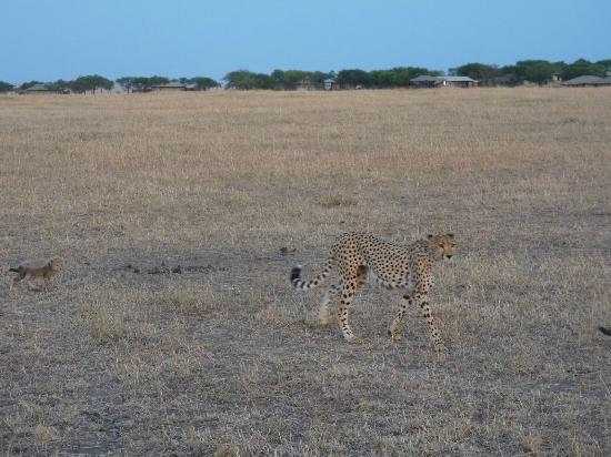 Singita Sabora Tented Camp: Cheetah with Sabora Camp in Background (they get close!)