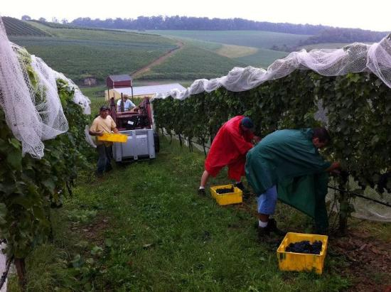 Andreas, PA: grape harvest