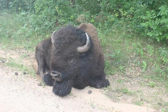 Rafter J Bar Ranch Campground: Tatanka!