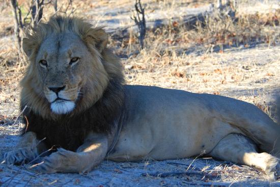 Wilderness Safaris Kings Pool Camp: Romeo... alpha male