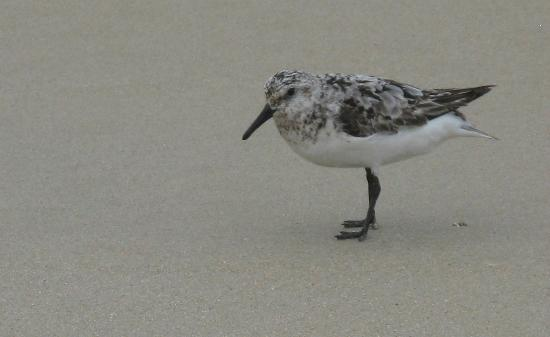 ‪‪Colonial Inn‬: Sanderling on the Beach‬