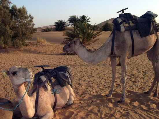 Hotel Ksar Merzouga: Camels