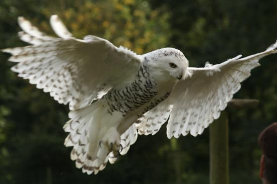 Moreton-in-Marsh, UK: Snowy Owl at Cotswold Falconry Centre