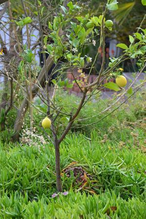 Rivendell Guest House: Lemon tree