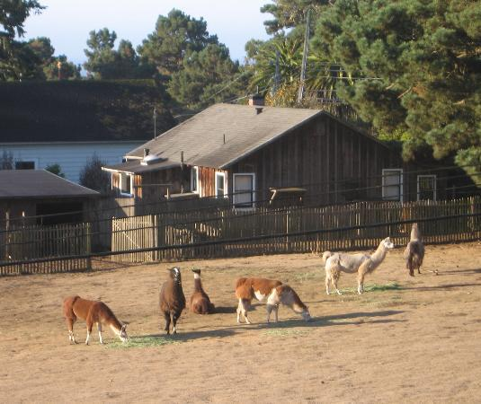 Glendeven Inn: Llama pasture