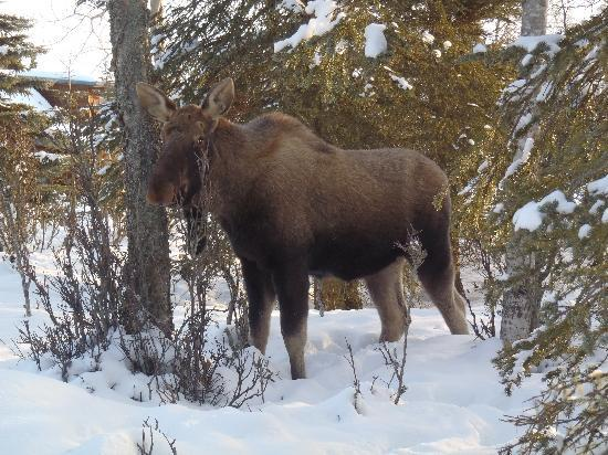 Caribou Crossing Cabins: Early spring visitor