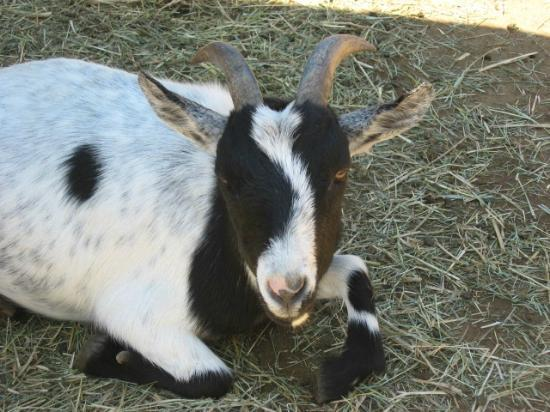 York's Wild Kingdom Zoo and Fun Park: Goat...