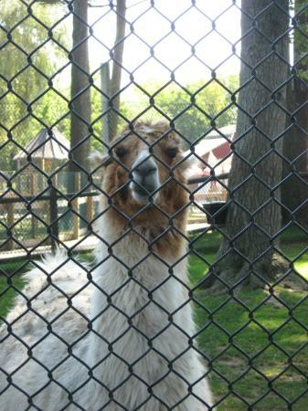 York's Wild Kingdom Zoo and Fun Park: llama...