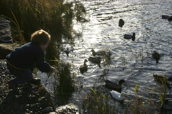 Fermanagh Self Catering - Stables &amp; Rafters: Feeding the ducks at the lake: plenty of them and they are very tame.