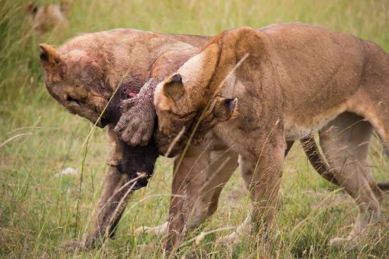 Kichakani Mara Camp: young male lions fighting over the head of their kill