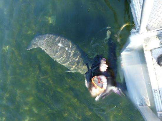 Inglis, Флорида: Swim with the manatees close to Pine Lodge