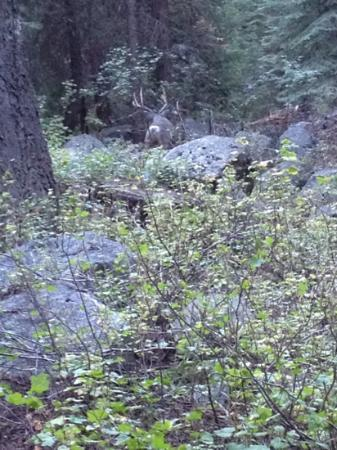 Lodgepole Campground: woke up to this beautiful buck