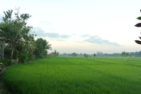Tegal Sari: paddy field