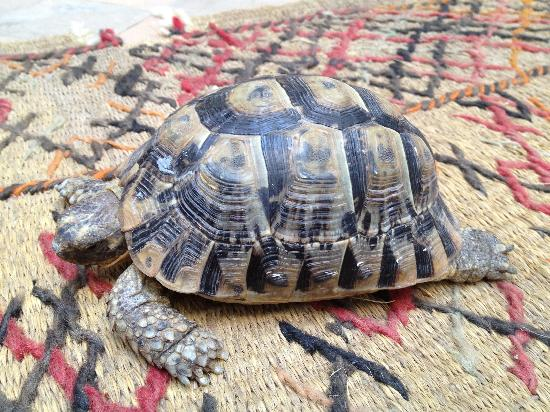 Riad Dar Maia: Emanuella -the pet tortoise
