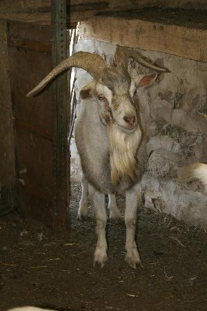 Chelsea Sun Inn: Ugly Poop the goat