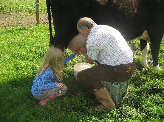 Dunshaughlin, Irlande : Milking Gertie the Cow.