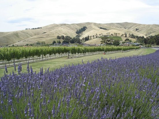 Looking across the lavender and our Pinot Noir vineyard to Maison Grange.