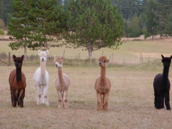Trumpeter Inn: Alpacas