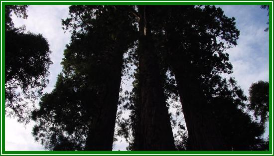 Springville, CA: Big Trees