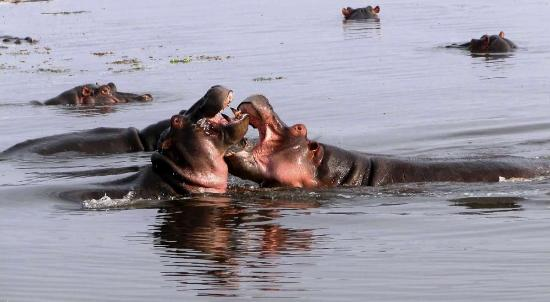 Hippo fighting