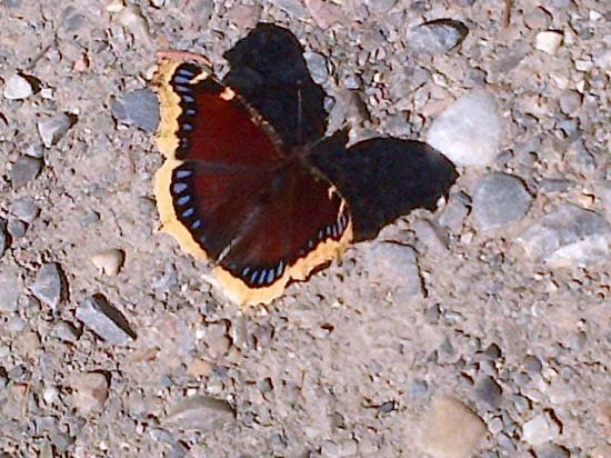 Mourning Cloak (Nymphalis antiopa), Marble Canyon, Kootenay National Park, British Columbia, Can