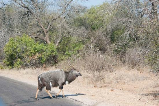 Bushwise Safaris: Nyala on the road