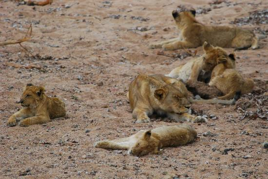 Bushwise Safaris: Lion cubs at rest