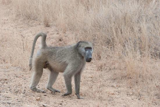 Bushwise Safaris: Baboons are real pests!