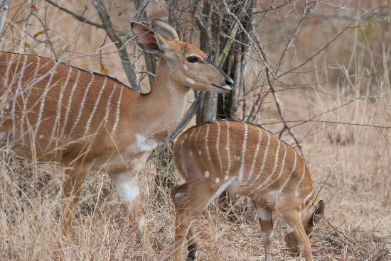 Bushwise Safaris: Impala in Kruger Park