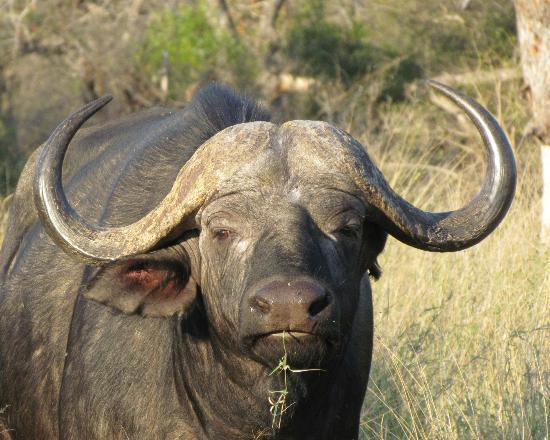 Kambaku Safari Lodge: Duga Boy Buffalo