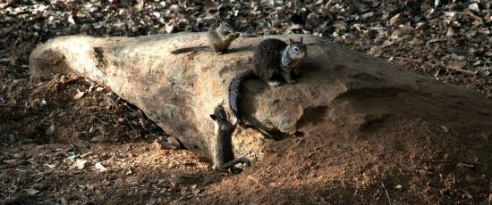 WorldMark Angels Camp: These ground squirrels were observed from our balcony--entertaining