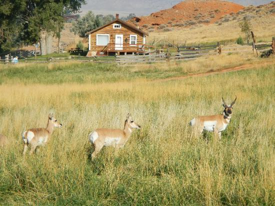 K3 Guest Ranch Bed & Breakfast: Prong Horns...