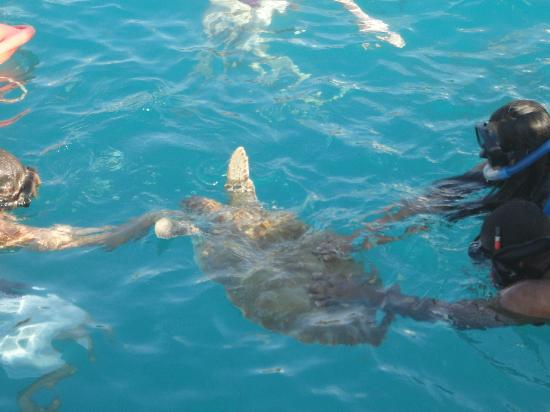 Turtle Beach by Elegant Hotels: Swimming with Turtles