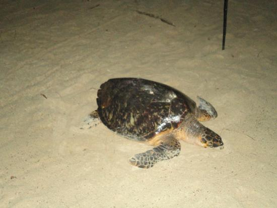 Turtle Beach by Elegant Hotels: Turtle laying eggs on the beach