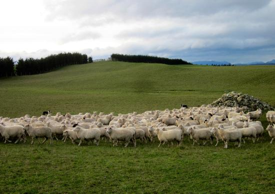 Dusky Ridges - Te Anau farmstay Bed and Breakfast: sheep everywhere