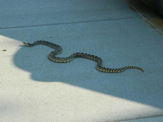 Wind Cave Nationalpark, SD: Bull snake