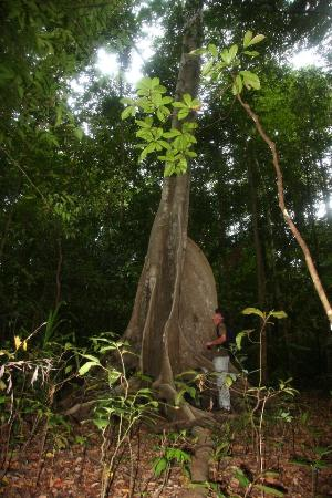 Tangkoko Nature Reserve, Indonesia: Beautiful Tree at Tangkoko Park