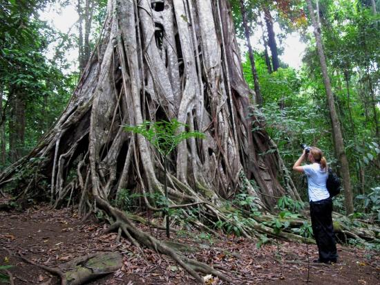 Tangkoko Nature Reserve, Indonesia: Biggest tree of the Park