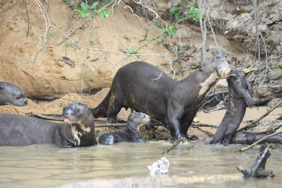 Giant river otter family