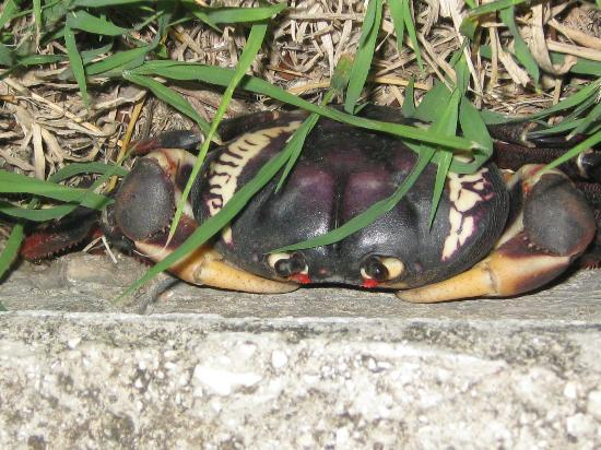 Paradisus Rio de Oro Resort & Spa: One of the many crabs in the complex