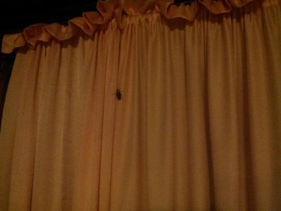 Dumaluan Beach Resort: Cockroaches crawling out of the curtains suite room