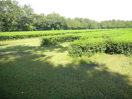 Charleston Tea Plantation: Tea Field