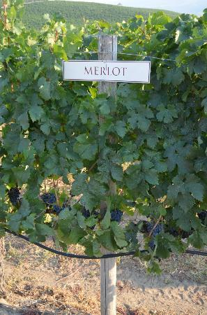 Wine Tours Gone South - Private Tours: Merlot Grapes at Burrowing Owl